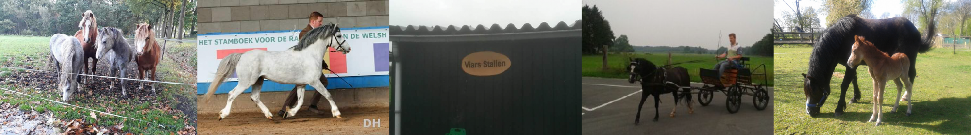 Viars Welsh ponies